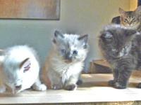 Gorgeous Christmas Kittens Rare New Breed! Ready to go