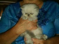 Beautiful Seal Tortie Himalayan female will come with a
