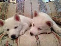 Beautiful husky puppies for sale. They were born