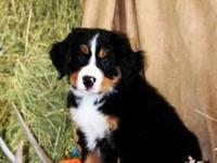 RESERVE YOUR PUPPY NOW! We have litter of 7 Bernese