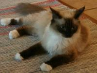 Ruby Cabernet is a 4 year old seal mitted female that