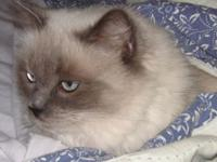 ragdoll cat Pets and Animals for sale in the USA - Puppy and kitten