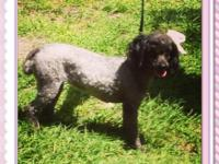 We have one lovely miniature poodle that we would like