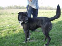 Retriever - Augustus***urgent*** - Large - Young - Male