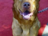 Retriever - Chester - Large - Young - Male - Dog What a