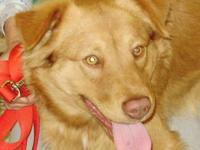Retriever - Copper - Medium - Young - Male - Dog 11