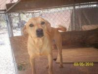 Retriever - Honey - Medium - Adult - Female - Dog DOB: