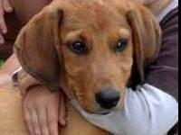 Retriever - Lj - Large - Baby - Male - Dog LJ (AKA