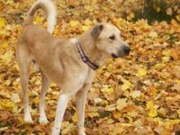 Retriever - Russel - Large - Young - Male - Dog This