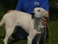 Retriever - Snowwhite***urgent**** - Large - Young -