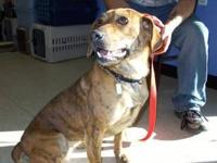 Retriever - Tigger - Large - Adult - Male - Dog To find