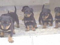 Animal Type: Dogs very cute rettrweller puppy for sale