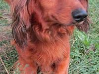 Reuben's story Reuben is a long hair dachshund about
