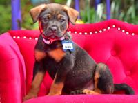 Rueben:  He's a Lab/Shepherd mix that is 10-11 weeks
