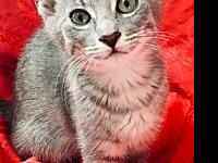 My story Revere is an easy-going and calm kitten. He