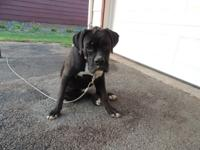 Pretty REVERSE BRINDLE,Boxer puppy. Female who
