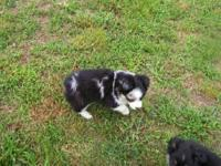 Stolen by a customer on 6-16-2012. This blue merle
