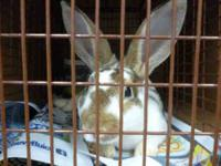 Rex - Archie - Medium - Adult - Male - Rabbit