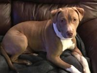 Rex is a 6-month old male Lab/Pit Bull mix.  He loves