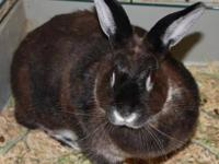Rex - Lenny - Medium - Young - Male - Rabbit