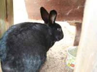 Two adult rex rabbits one black and one gray. The gray