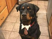 Rex's story Rex is a two year old Rottie who got all