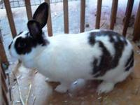 Rex - Blue - Small - Young - Female - Rabbit HOP TO IT