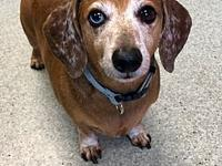 REZNIK's story Looking for a happy dachshund to share