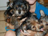 hjuTop Quality Yorkies puppies free of charge here. We