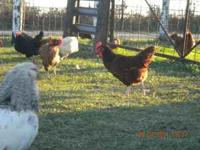 We have around 20 Rhode Island Red laying hens, that