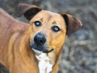 Rhodesian Ridgeback - Anna - Medium - Adult - Female -