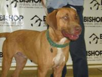 Rhodesian Ridgeback - Captain - Large - Adult - Male -