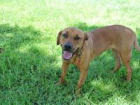 Rhodesian Ridgeback - Chewy - Large - Young - Male -