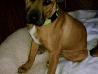 Rhodesian Ridgeback - Maddox - Large - Adult - Male -