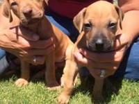 Rhodesian Ridgeback puppies sire and dam on website.