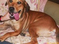 Rhodesian Ridgeback - Reba - Medium - Adult - Female -