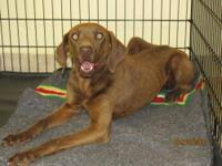 Rhodesian Ridgeback - Tori - Large - Young - Female -