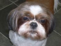 I am a beautiful 4 yr old, 13 lb, Red and White Shih