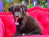 Rigby:  He's a Lab/Shepherd mix that's 10-11 weeks old
