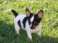 Riley is a beautiful tricolor male chihuhua puppy. He