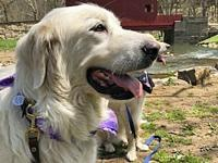 Riley's story Riley is a sweet, gentle Great Pyrenees