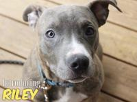 INTRODUCING RILEY!! Riley is a brindle pit mix with a