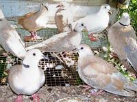 Ring Neck Doves: Very tame easy going healthy birds; I