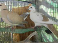 6 ringneck doves free 3 pied doves,3 brown doves, free