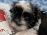 Ringo is a black and white , male, Mal-Shi (mix between