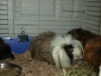 Ringo is one of many Guinea Pigs at STAR Foundation
