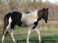 Rio is a 6 year old 14.2hh Tennessee Walking Horse