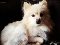 Ripley is a 2 year old, male Pomeranian. He is an