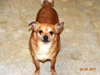 This is River what a handsome Chihuahua/Terrier mix,