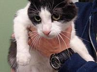 Rizzo's story Male neutered, front declawed If you